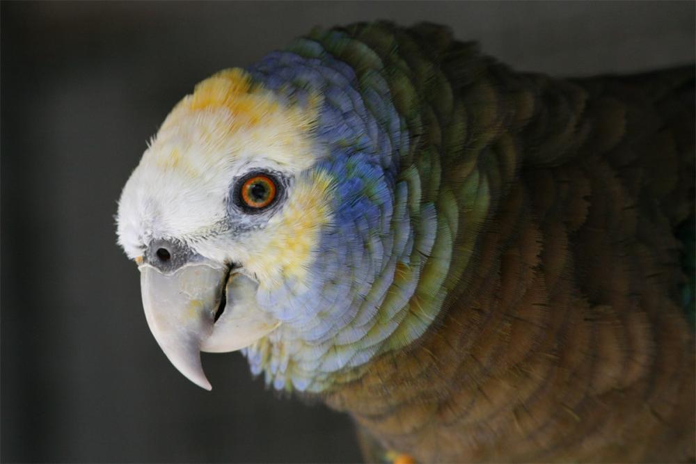 Amazona guildingii