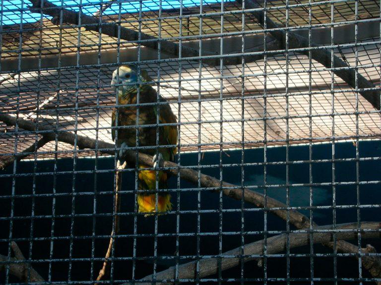 amazona exotic bird