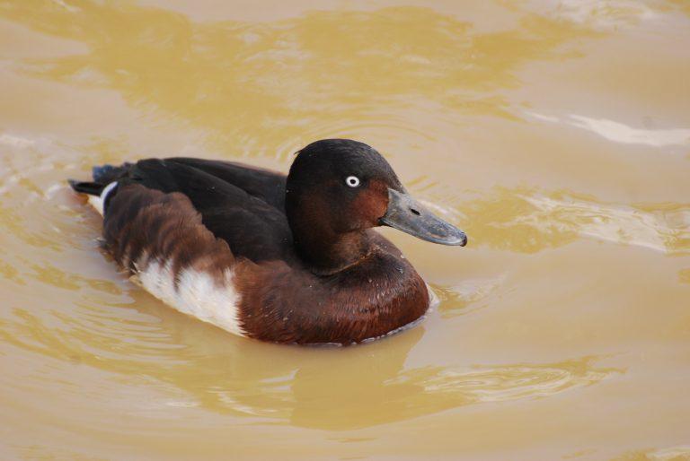 Baer's duck