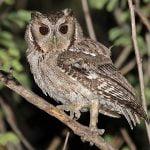 Balsas Screech-owl