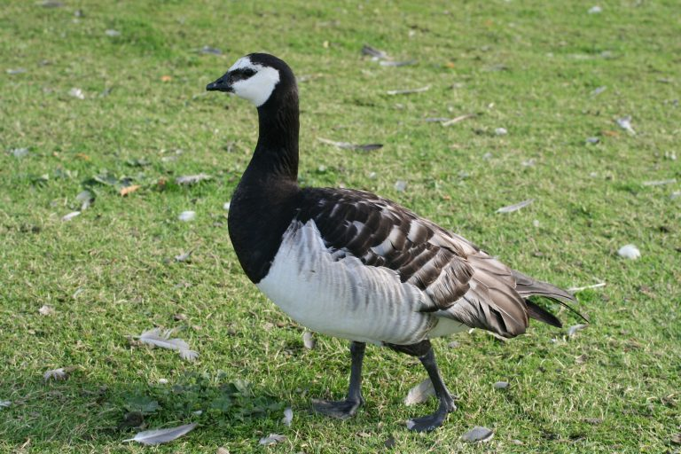 exotic barnacle goose