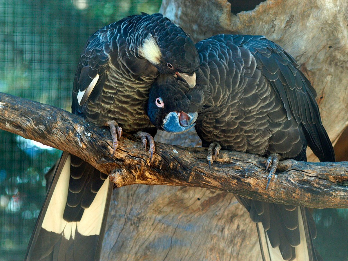 Baudin's Black Cockatoo