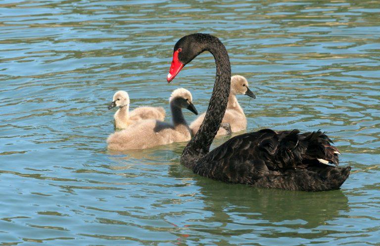 black swan bird