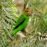 Black-winged lovebird