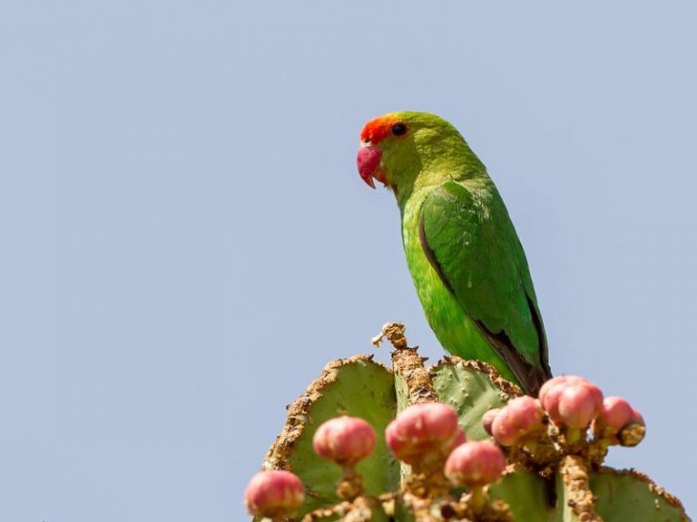 exotic lovebird eating