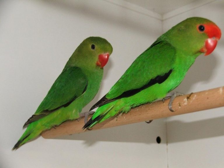 black-winged raise lovebird