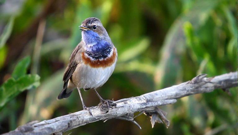 blue-breasted nightingale