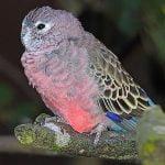 Bourke Parakeet