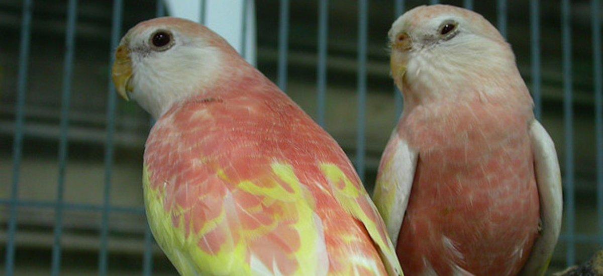 pink bourke parakeet