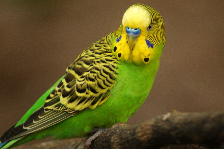 Australian parakeet