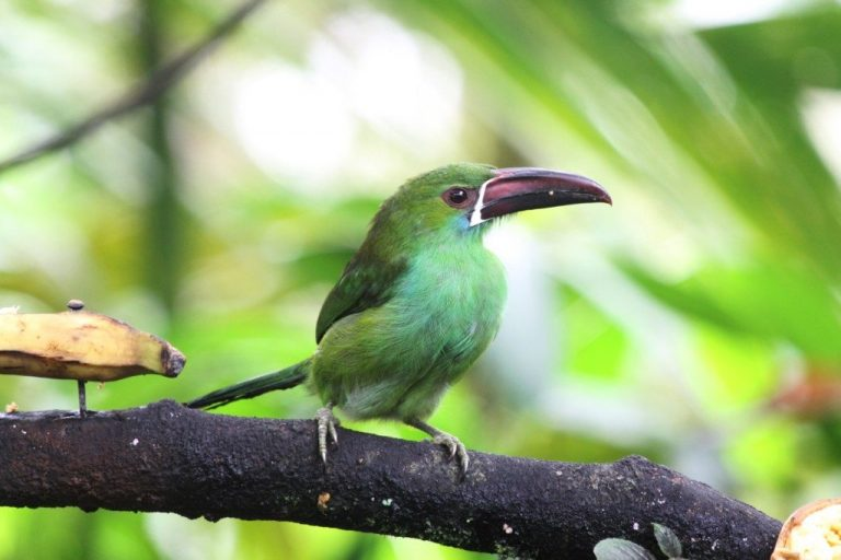 chestnut toucanet