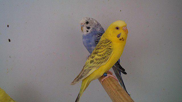 fluffy parakeet