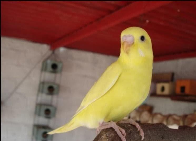 Black eyes parakeets