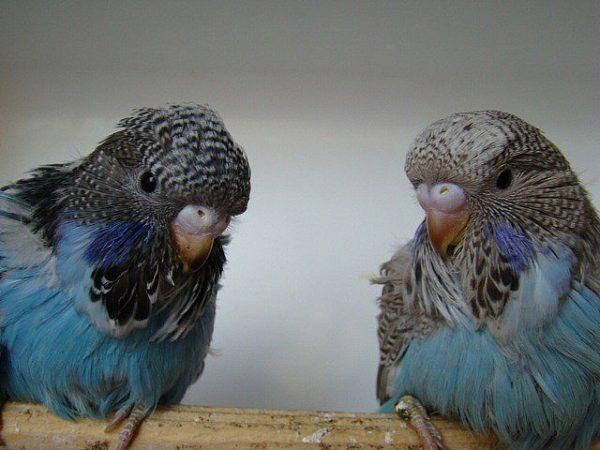 Blackface parakeets