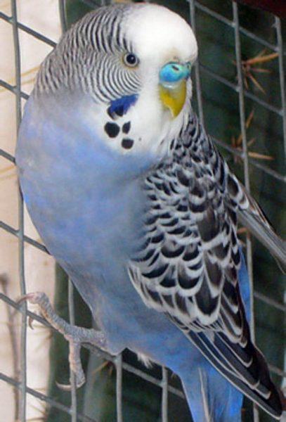 Parakeets slates