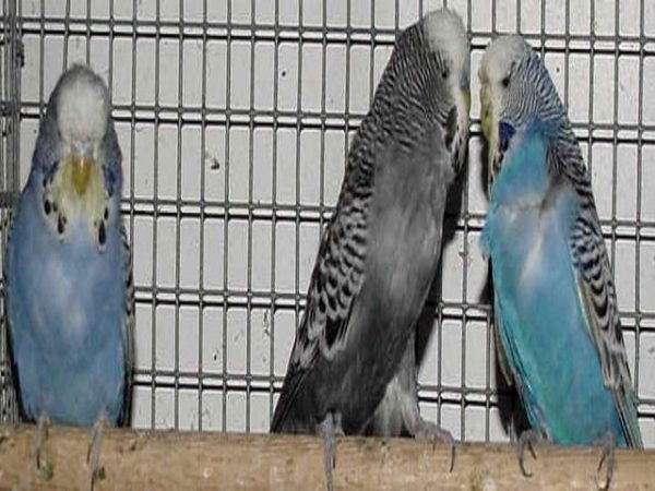 Anthracite budgies