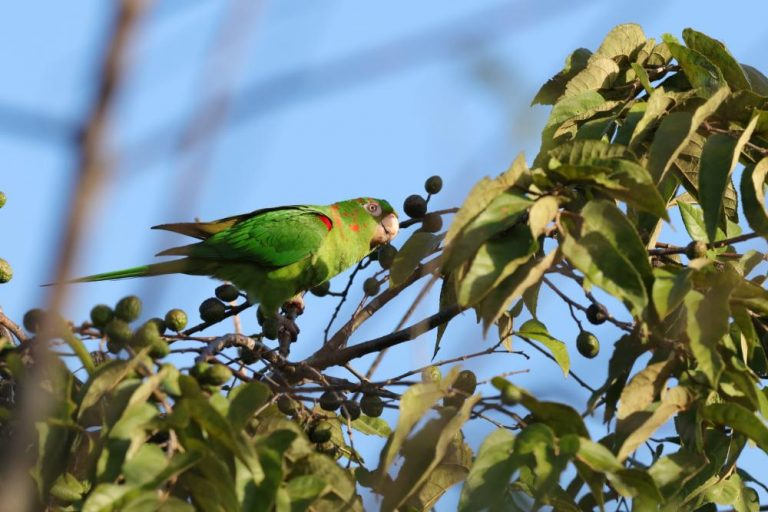 exotic cuban parakeet