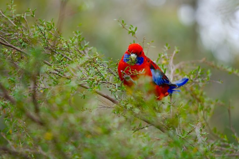 multicoloured rosella