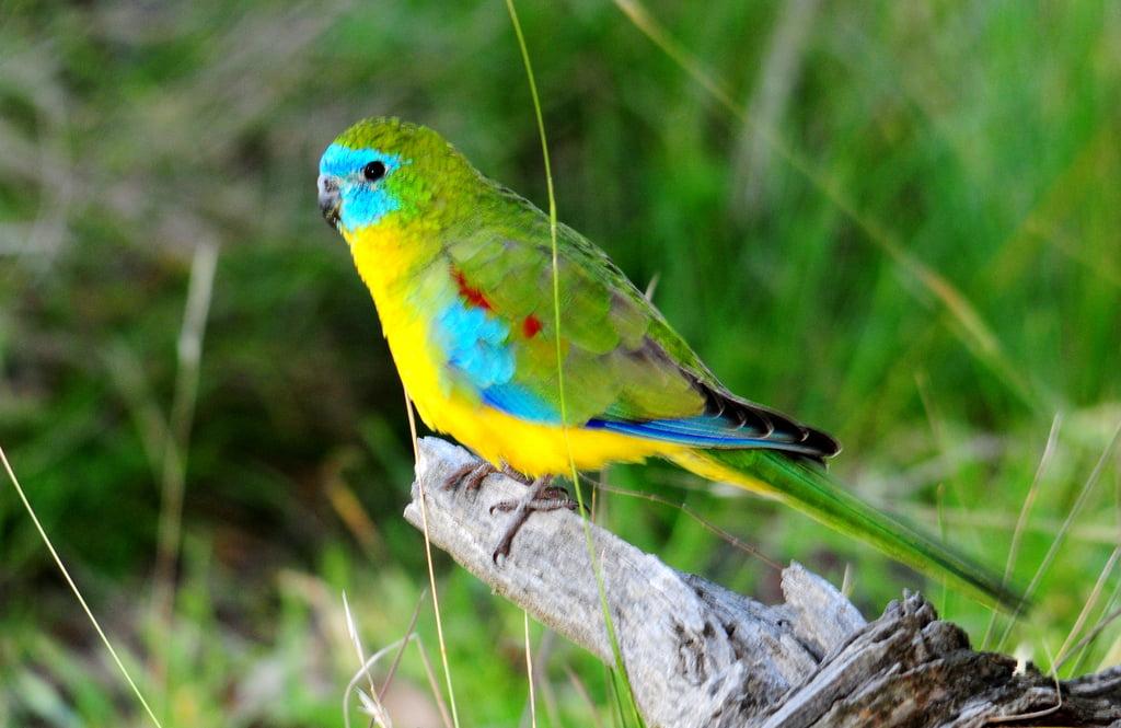 Turquoise Parakeet