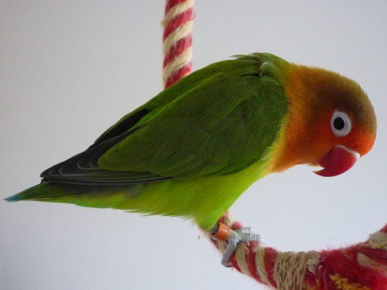 exotic lovebird