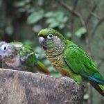 Green-cheeked Parakeet
