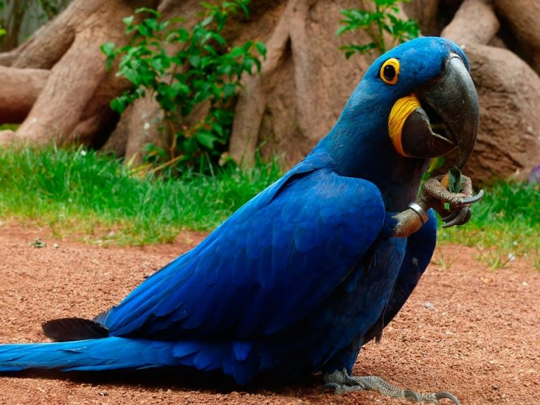 blue exotic macaw bird