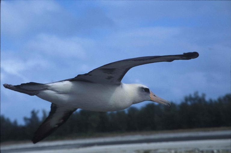 albatross exotic bird