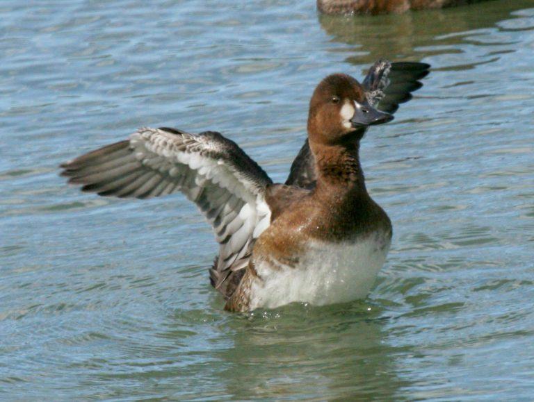 Lesser Duck