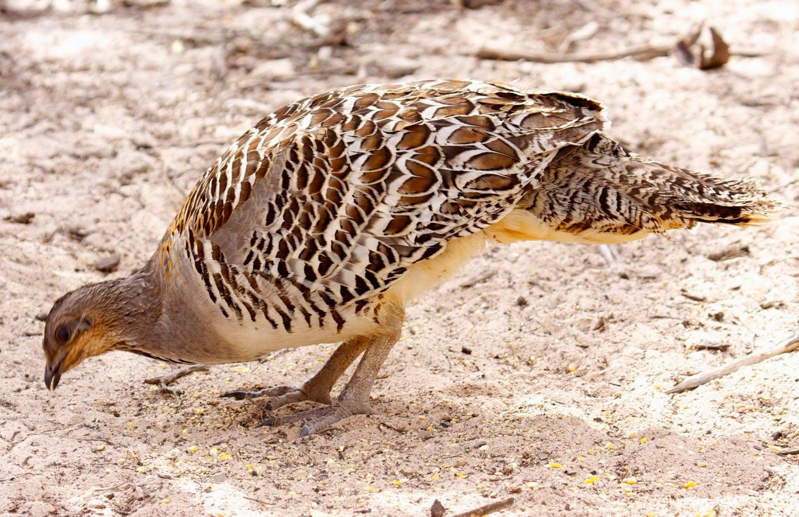 Australian pheasant