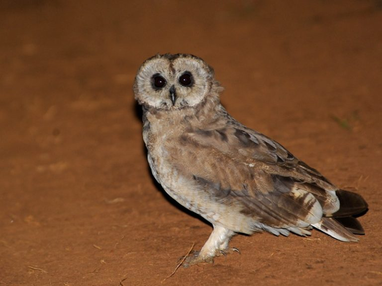 medium-sized owl