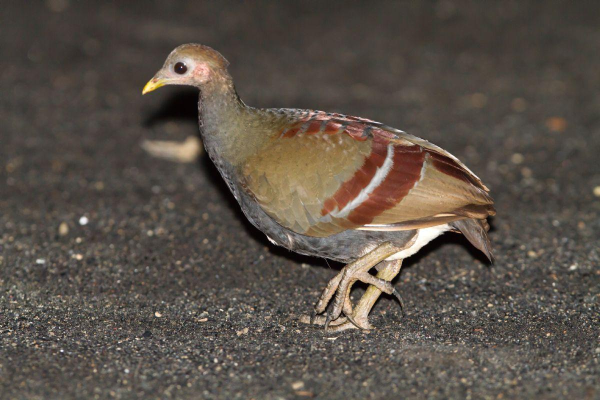 Moluccan Megapode