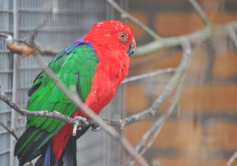 moluccan parrot