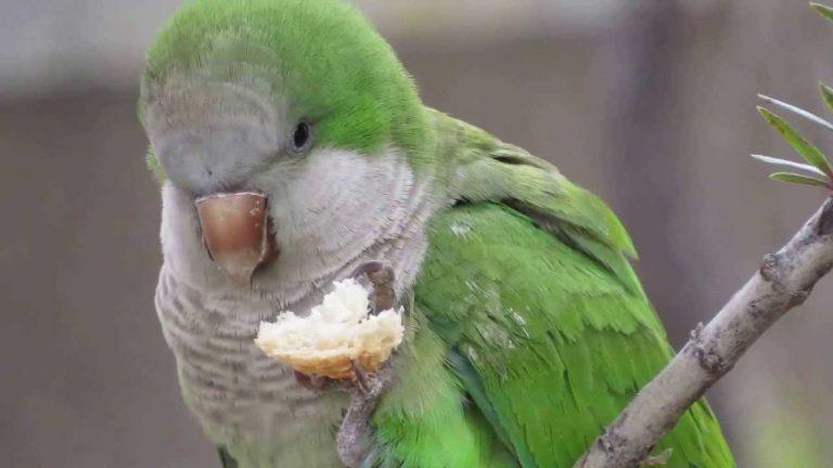 Argentine parrot