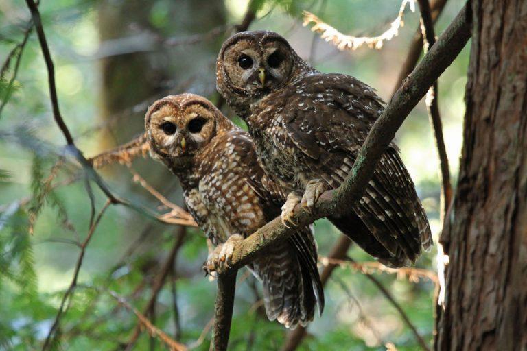 Brahman owl