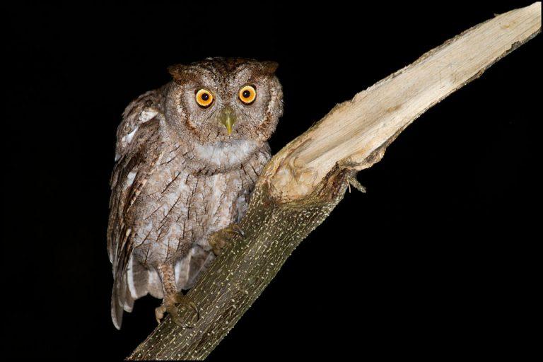 Pacific owl