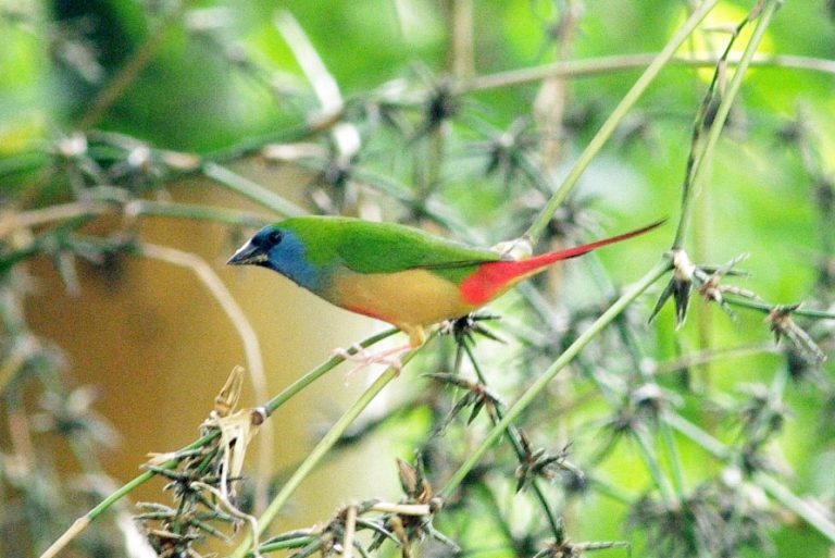pin tailed finche