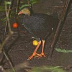 Red-billed Brushturkey