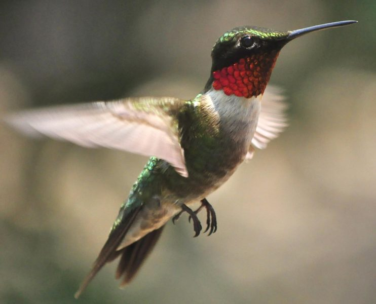 red throated hummingbird