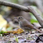 Rufous-tailed Robin