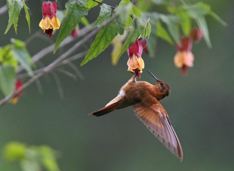 sunbeam hummingbird
