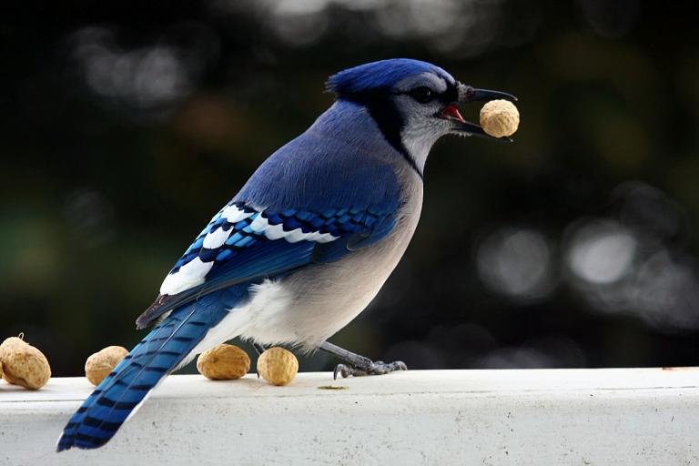 blue finche