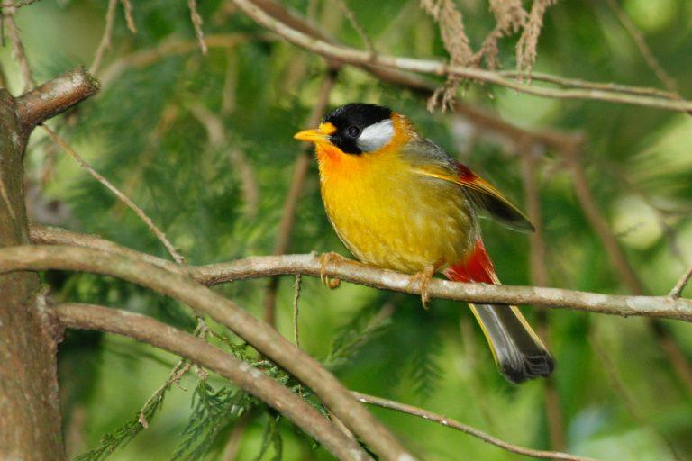leiotrix argentauris