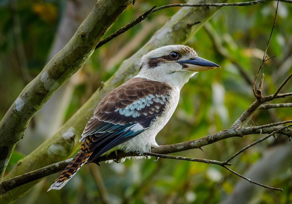 Spangled Kookaburra