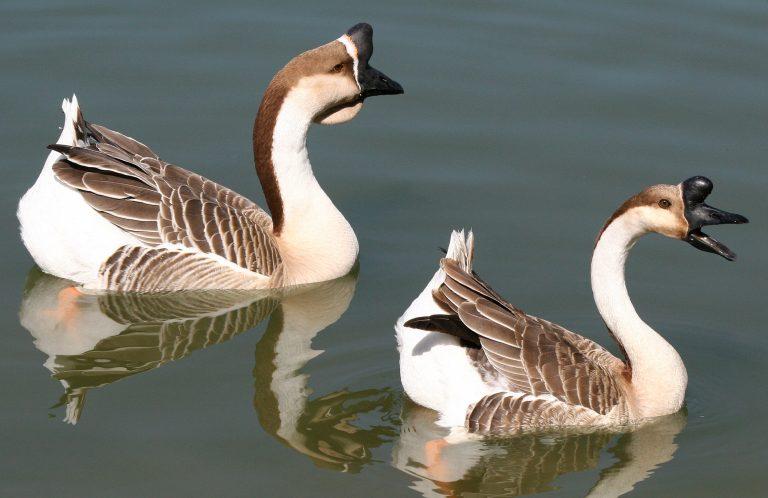 rare exotic swan
