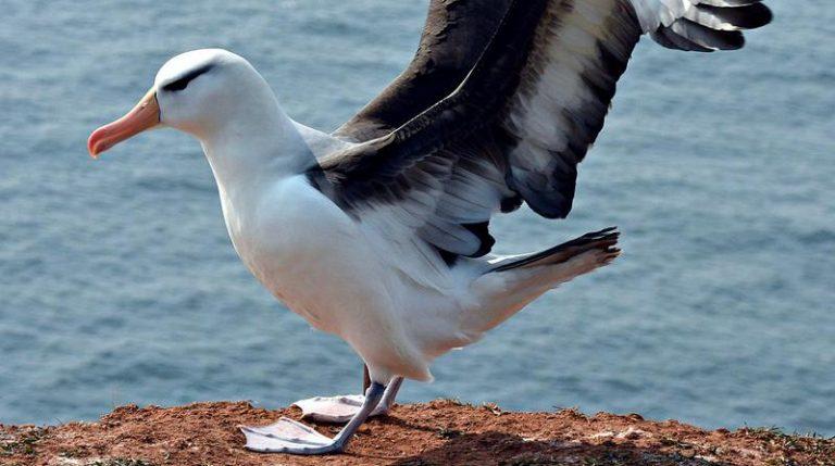 albatross live