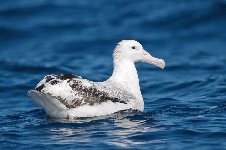 exotic albatross in the sea