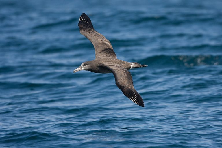 black-legged albatross