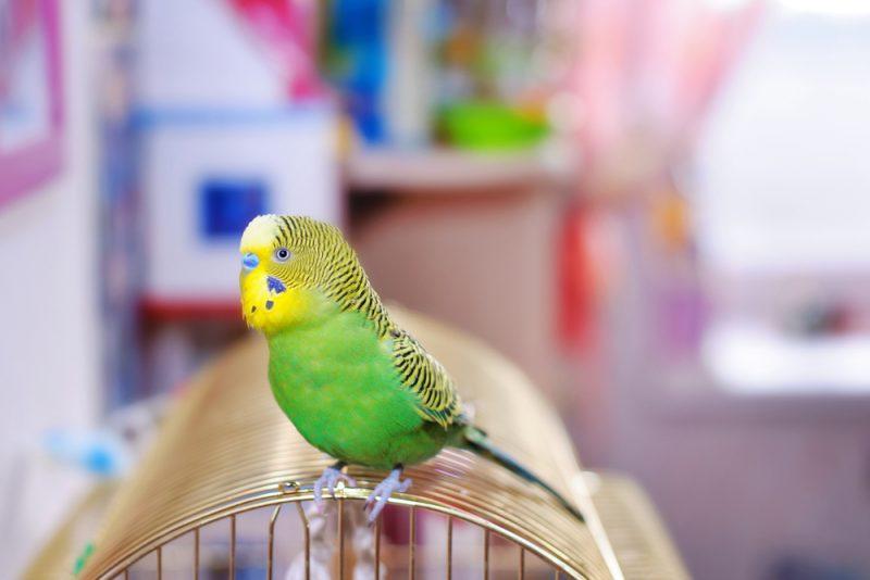 parakeet in a budget