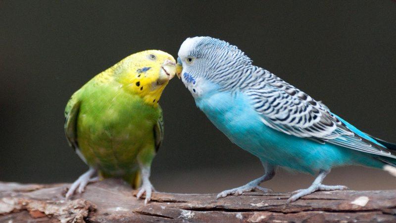 perekeets kissing