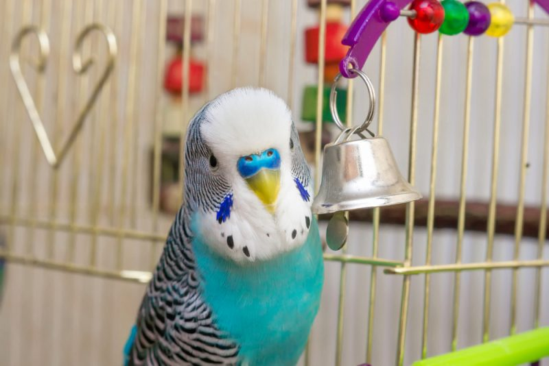 budgie drinking